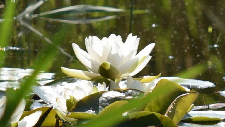 Hvid Nøkkerose – Nymphaea alba