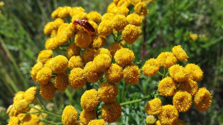 Rejnfan – Tanacetum vulgare