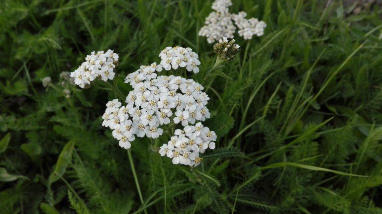 Røllike – Achillea millefolium