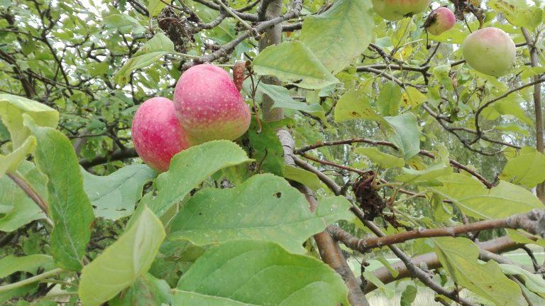 Vild æble – Malus sylvestris