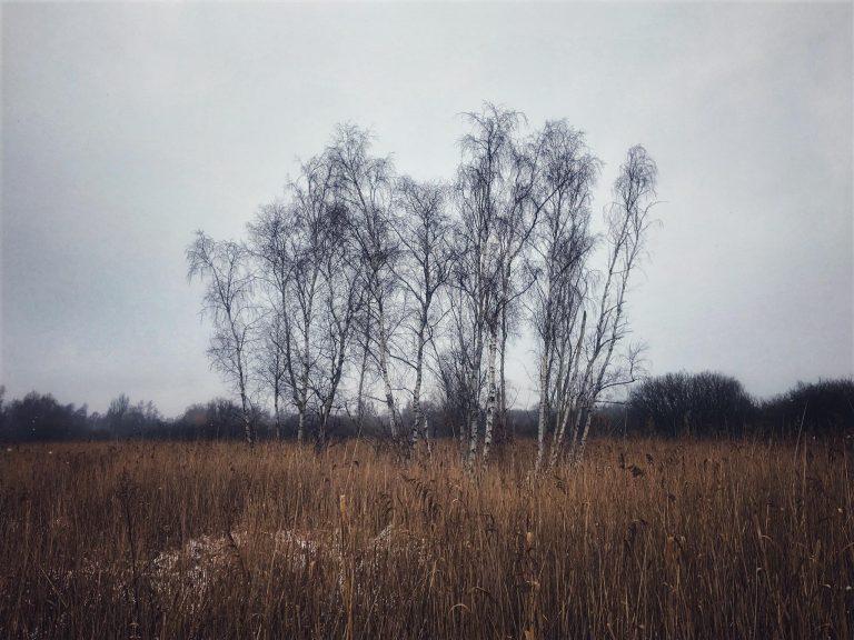 Birk – Betula Spp.