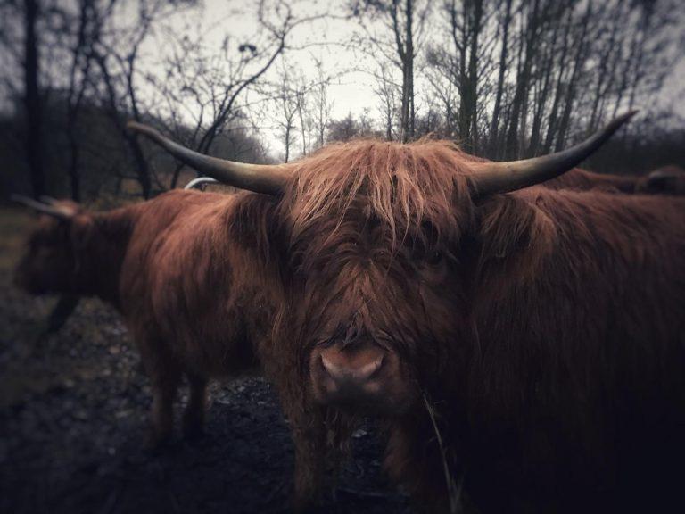 Skotsk Højlandskvæg – Bos taurus