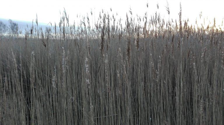 Tagrør – Phragmites australis