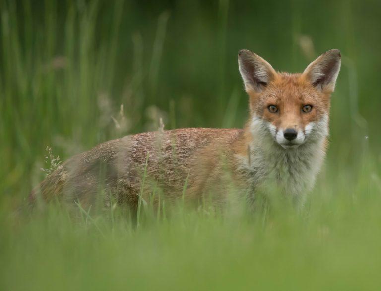 Den røde ræv – Vulpes vulpes