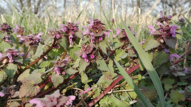 Rød tvetand – Lamium purpureum