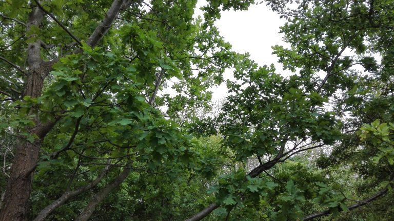 Stilkeg – Quercus robur