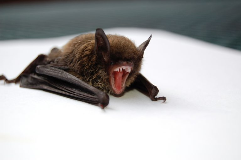 Brunflagermus – Nyctalus noctula