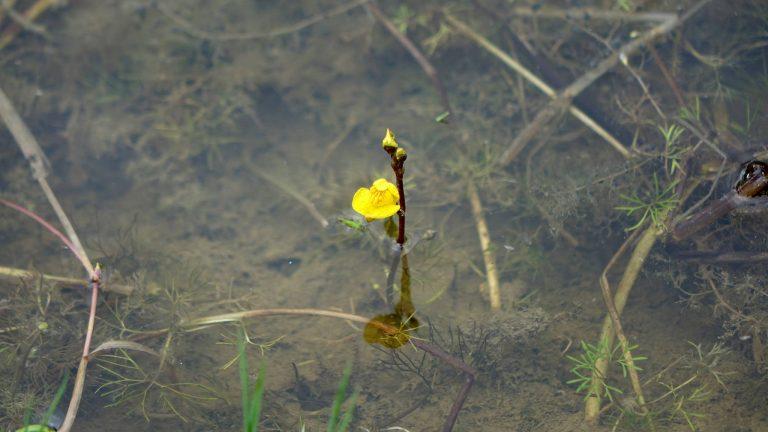 Slank blærerod – Utricularia australis