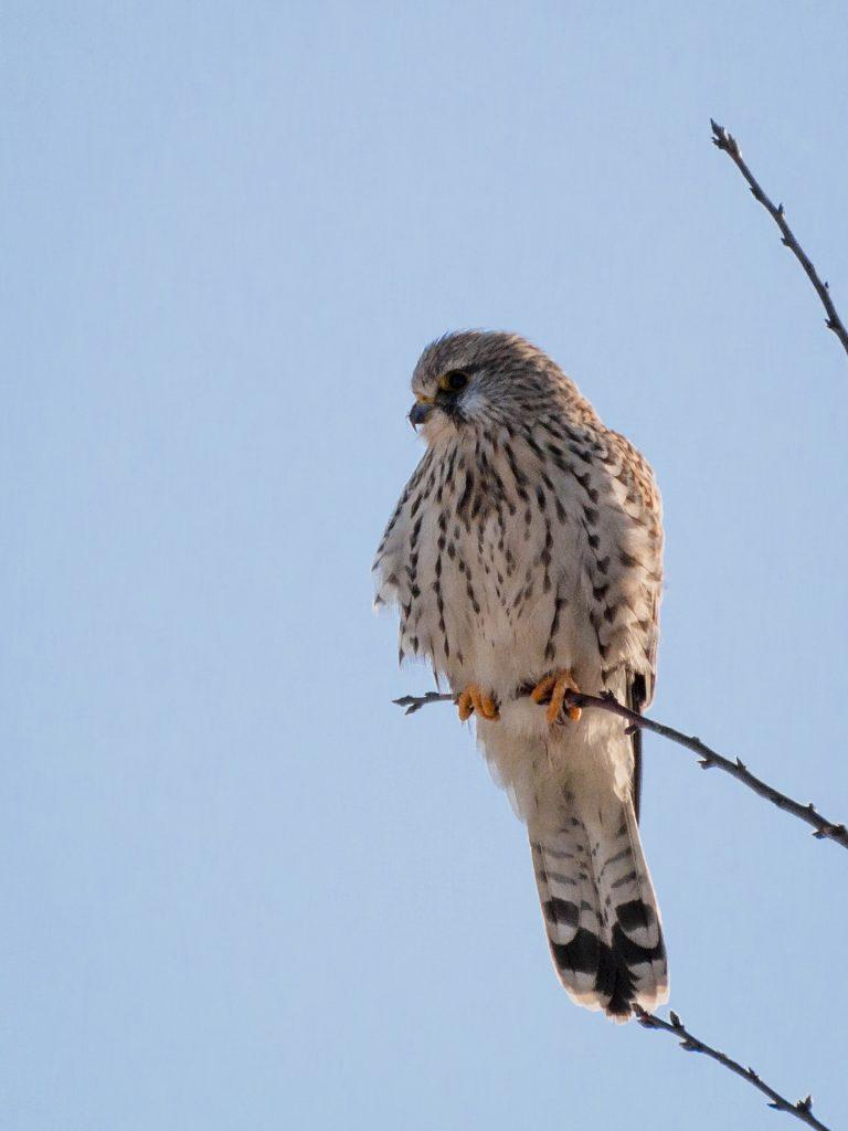 Tårnfalk – Falco tinnunculus