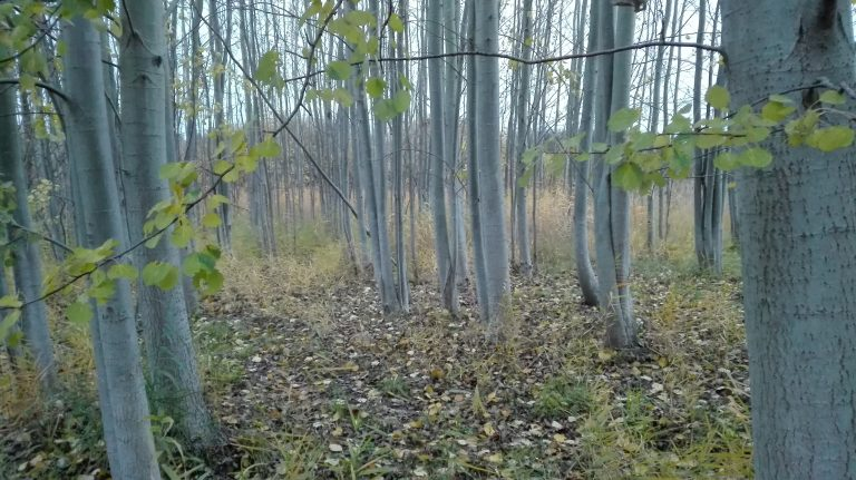 Bævreasp – Populus tremula