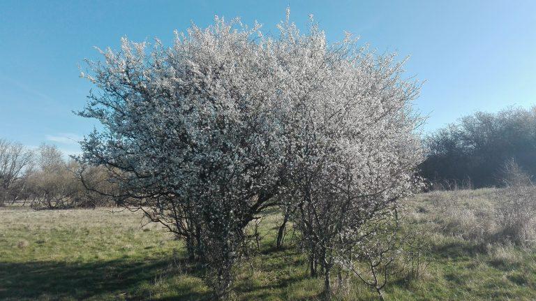 Mirabel – Prunus cerasifera