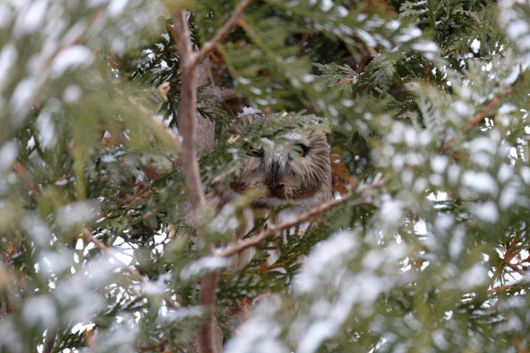Natugle – Strix aluco