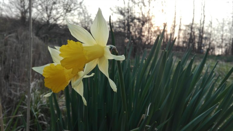 Påskelilje – Narcissus pseudonarcissus