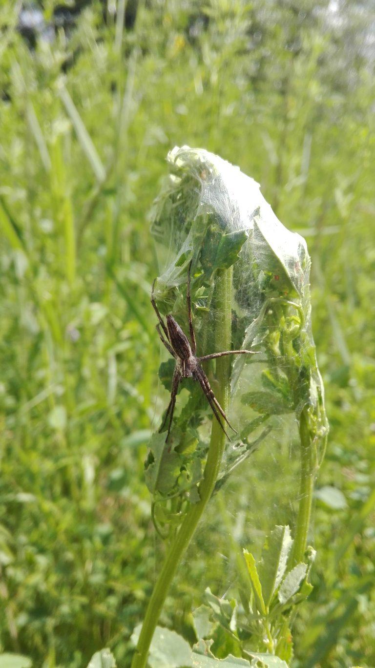 Almindelig rovedderkop – Pisaura mirabilis